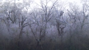 trees wrapped in ice in the afternoon in March near Acadiana's coast